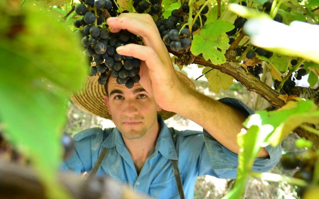 Cooperativa Vinícola Garibaldi projeta safra de 10 milhões de quilos de uva